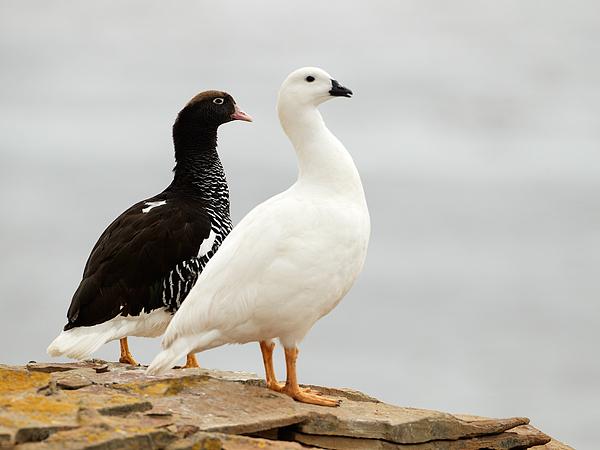 how to tell male and female pekin ducks apart