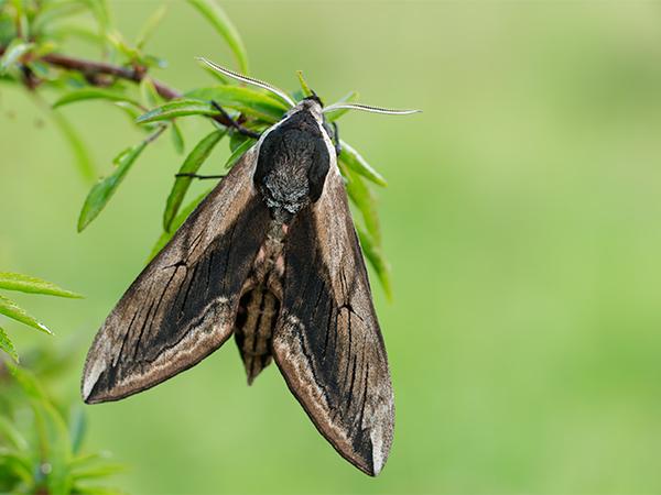 Privet hawk moth - photo#19